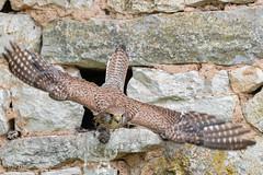 Faucon crécerelle femelle (qui sort du nid avec une proie qui y était avant son arrivée) (sfrancois73) Tags: oiseau faune fauconcrécerelle
