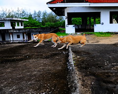 ,, Mama Blocking Pumpkin ,, (Jon in Thailand) Tags: trees roof red dog playing green dogs pumpkin fun jumping nikon hand running mama jungle nikkor quick leaping k9 d300 blackhand whitehand 175528 thedogpalace