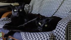 Lenny and Carl (lennycarl08) Tags: cat lc blackcats