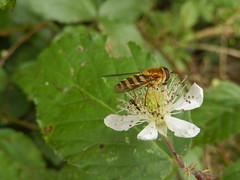 Bessenbandzweefvlieg (Syrphus ribesii) (Frank Berbers) Tags: insect diptera tweevleugeligen syrphidae zweefvlieg hoverfly schwebfliege vlieg fliege fly bessenbandzweefvlieg syrphusribesii groseschwebfliege gemeinegartenschwebfliege zuidlimburg macro nederland