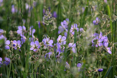 Geranium mist (grce) Tags: field meadow flower flowers grass plants plant geranium mist nature outdoor canon canoneos550d tamron tamronlens soft delicacy