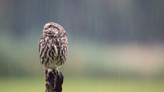 Little Owl is waiting for the Sun to Shine (wimzilver) Tags: bird rain canon belgie regen vogel statief steenuil wimzilver wimboon canoneos5dmarkiii sigma150600mmf563dgoshsm|sports