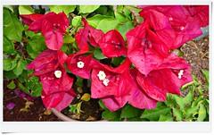 Buganvilia roja de verano...P1130149P (gtercero) Tags: verano roja buganvilia 20150926 gtercrero