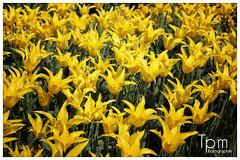gelbe Tulpen (t1p2m3) Tags: flower fleur yellow jaune gelb tulpe