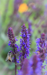 Busy Bees (Note-ables by Lynn) Tags: flowers macro gardens bees insects salvia blooms