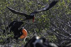Male Frigatebirds DSC_8027-1 (TabbPix) Tags: ocean park parque beach expedition june america island volcano islands eclipse ecuador natural pacific south darwin evolution selection galapagos national tropical environment species volcanic nacional tropics equator preservation pristine wildlike 2016