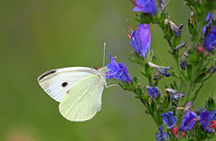 cabbage white butterfly (Nicola G. Fotografie) Tags: kohlweisling schmetterling pieris tagfalter falter cabbage white butterfly insect blossom flower nature blume blte canon 55250 natur insekt
