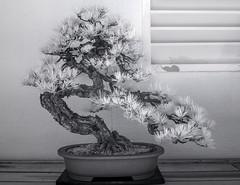 DSC_3797s (An Xiao) Tags: arboretum bonsai penjing