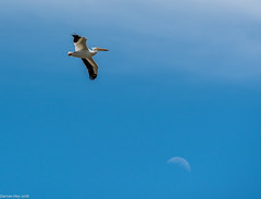 I'm Over The Moon! (dazzbo1) Tags: wyoming snake river sky bird pelican moon wildfire usa america flight flying nature