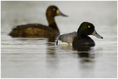 greater scaup (Christian Hunold) Tags: bird alaska duck nome greaterscaup divingduck sewardpeninsula bergente christianhunold