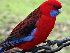 Crimson Rosella (aussielyn6) Tags: blue red bird native australia rosella