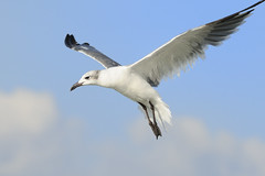 Laughing Gull (5244) (Mike S Perkins) Tags: blue sea sky white flying florida seagull coastline gliding siestakey laughtinggull