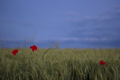 flashy poppies in the dusk (Fabien Husslein) Tags: red wild france flower color nature fleur field rouge countryside dusk meadow poppies lorraine campagne couleur crepuscule champ moselle coquelicots