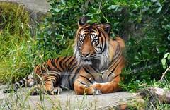San Francisco Zoo (jaffa600) Tags: sanfrancisco california usa animals zoo unitedstates tiger unitedstatesofamerica bigcat tigers felines sumatrantiger bigcats sanfranciscozoo animalpark zoopark amurtiger animalreserve
