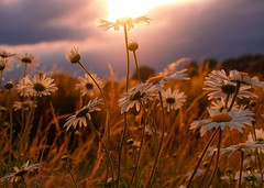 Wild and free (mabumarion) Tags: flowers sunset summer sky sun grass backlight clouds blossom meadow olympus pleasure 52wochenfotochallenge