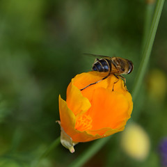 Slaapmutsje met zweefvlieg (snoeziesterre) Tags: orange flower garden tuin oranje bloem zweefvlieg slaapmutsje