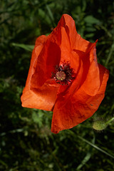 Shades of red (My Photo Vision) Tags: poppy klaproos klatschrose sonydscrx100 rx100