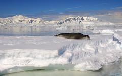 Sunbather (pdxsafariguy) Tags: mountains ice water clouds bay antarctica seal remote iceberg ecotourism tomschwabel leopardseal anversisland hydrurgaleptonyx fournierbay