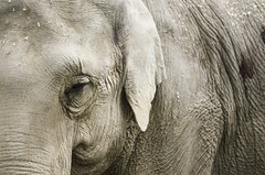 Gray Winds (cory.king) Tags: elephant texture love animal photography eyes wildlife intelligence wisdom