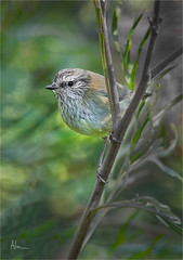 Striated Thornbill (caralan393) Tags: birds