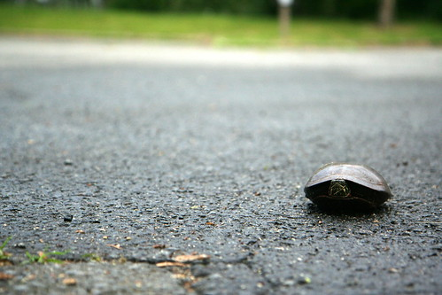 parking lot turtle