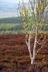 Rough Spring (Andrew S. Gray) Tags: white tree green spring heather fineart fresh northumberland study bark ashtree moor budding moorland 2013 andygray andrewsgray