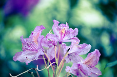 Last of the Puple Azalea's (Orbmiser) Tags: flowers flower oregon portland spring bush nikon purple azalea d90 55200vr