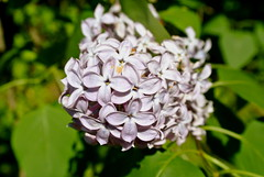 Lilacs (alyssapitseleh) Tags: flowers trees summer plants flower tree nature floral spring pretty purple lilac lilacs springtime flowery