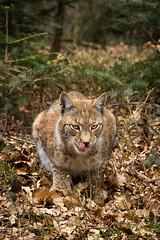 lynx (Cloudtail the Snow Leopard) Tags: wildpark pforzheim tier säugetier animal mammal katze cat feline luchs lynx eurasischer nordluchs cloudtailthesnowleopard