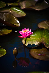 (caroline.angelo) Tags: pink water june waterlily lotus lilypad kenilworthaquaticgardens