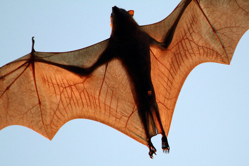 Little Red Flying-fox