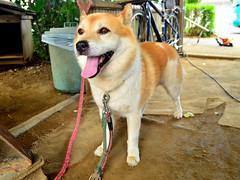 Japan Dog (hybrid) Bush Overjoyed! / ! (Dakiny) Tags: summer dog animal animals mammal bush july yokohama  hybrid     2013    aobaku     2013  shimoyamotocho
