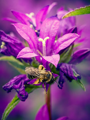 The Flower and the Bumblebee (kfoshaug) Tags: black flower green nature colors animal animals yellow norway canon insect flying wings purple insects bee bumblebee pollen bumble vibrance grimstad austagder