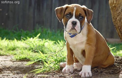 boxer filhote