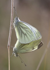Green veined whites (alunwilliams155) Tags: butterfly mating gloynbyw