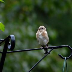 gardenbirdrevival