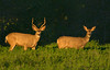 Mr & Mrs Deer (Amy Hudechek Photography) Tags: wild field animals colorado doe deer buck mule eveninglight happyphotographer amyhudechek