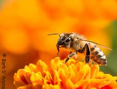 The buzz about our honey bees (Barb D'Arpino Photography) Tags: ontario canada nature bug insect outdoors wildlife northamerica honeybee wasagabeach apismellifera genusapis naturethroughmyeyescom barbaralynne copyrightbarbdarpino barbaralynnedarpino honeybeesneedourhelp honeybeeonmarigold honeybeepreening banneonicotinoids honeybeesintrouble