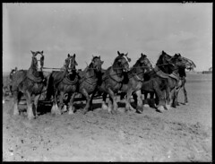 Horses pulling plough (State Records SA) Tags: horses blackandwhite horse photography australia historical southaustralia plough ploughing frankhurley srsa staterecords staterecordsofsouthaustralia staterecordsofsa