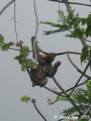 Paresseux à gorge brune /  Bradypus variegatus / Brown-throated Sloth (Laval Roy) Tags: venezuela mammals mammifères bradypusvariegatus brownthroatedsloth paresseuxàgorgebrune lavalroy bradypodidés