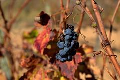 Darrer gotim de Cabernet Sauvignon, Tardor, el Penedes, (Angela Llop) Tags: fall spain eu catalonia grape penedes tardor verga gotim circell redolta