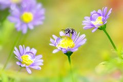 Swan River Daisy  (Fu-yi) Tags: flowers flower color macro texture water yellow zeiss insect wasp purple bokeh sony taiwan bee tiny taipei alpha dslr  tones botanicalgarden glob