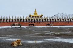 Sichuan (四川), Tagong (塔公, ལྷ་སྒང་), April 2013 (Foooootooooos) Tags: china travel horses dog temple nikon stupa buddhism tibet 中国 sichuan kina buddhisttemple cina chine tempel 中國 四川 travelphotography الصين tibetantemple 四川省 goldenstupa סצואן tionghoa כינע sjina d7000 сычуань tagong塔公 쓰촨성 tứxuyên سيتشوان siçuan มณฑลเสฉวน ལྷ་སྒང་