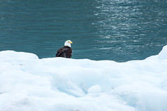 _MG_4532a (markbyzewski) Tags: bird alaska ugly iceberg glacierbaynationalpark