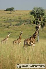 Giraffes on the Savannah of Murchison Falls National Park (Kombi Nation Tours) Tags: africa park travel nature tour wildlife roadtrip falls east safari national giraffes uganda murchison