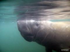 breathtaking (Hai-Ray) Tags: canon underwater florida powershot manatee snorkeling freshwater 2014 g7 schnorcheln ssswasser homosassariver