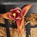 Maxillaria desvauxiana – Merle Robboy