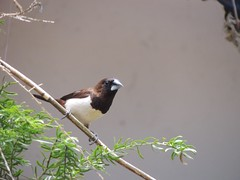 White-rumped Munia (Noble P Abraham) Tags: india birds kerala munia whiterumpedmunia kumbanad