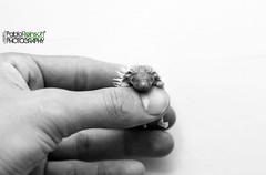 Recién nacido. (Pablin79) Tags: pet white black macro monochrome animal closeup digital canon eos reflex hand little finger newborn 5d hedgehog erizo posadas markii sayhello canoneos5dmarkii 5dmkii pabloreinschphotography einaceinae