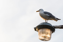 Sea Gull Enjoying A Sunset (Torres_Photos) Tags: ocean new york family light sunset sun newyork bird beach water lamp sunshine birds clouds island jones pier fly flying fishing long sundown cloudy seagull sunny longisland atlantic lamppost oceans nassau atlanticocean jonesbeach fishingpier
